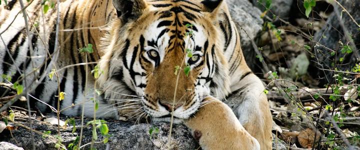 RGH tiger-5©
